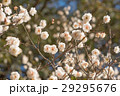 梅の花 29295676