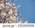 梅の花 29295698