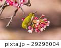 寒桜 花 桜の写真 29296004