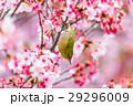 寒桜 花 桜の写真 29296009