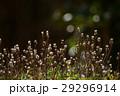 ミチタネツケバナ タネツケバナ属 小さい花の写真 29296914