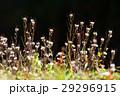 ミチタネツケバナ タネツケバナ属 小さい花の写真 29296915