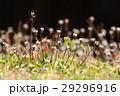 ミチタネツケバナ タネツケバナ属 小さい花の写真 29296916