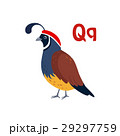 Quail. Funny Alphabet, Animal Vector Illustration 29297759