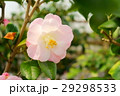 椿・花図巻(桃太郎) 29298533