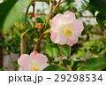 椿・花図巻(桃太郎) 29298534
