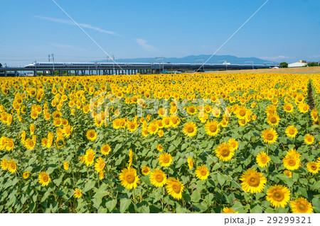 ひまわり畑と700系新幹線 29299321