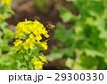 菜の花とミツバチの飛翔  29300330