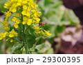 菜の花とミツバチの飛翔 春  29300395