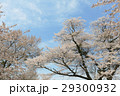 Yoshino cherry tree 29300932