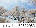 Yoshino cherry tree 29300933