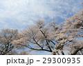 Yoshino cherry tree 29300935