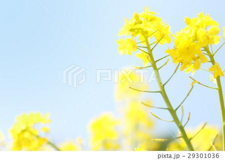 菜の花 29301036