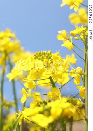 菜の花 29301039