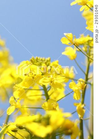 菜の花 29301040