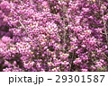 ジャノメエリカ エリカ 花の写真 29301587