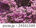 ジャノメエリカ エリカ 花の写真 29301589