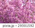 ジャノメエリカ エリカ 花の写真 29301592