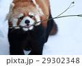 レッサーパンダ 動物 陸上動物の写真 29302348