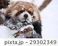 レッサーパンダ 動物 陸上動物の写真 29302349