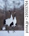 丹頂 丹頂鶴 鶴の写真 29303764