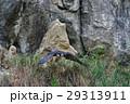 森を翔ぶハヤブサ 29313911