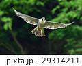 獲物を運ぶハヤブサ 29314211
