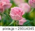 バラ 薔薇 花の写真 29314345
