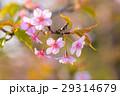 河津桜 29314679