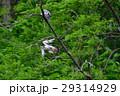 森のハヤブサ 29314929