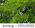 森のハヤブサ 29314930