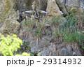 森のハヤブサ 29314932