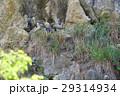 森のハヤブサ 29314934