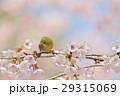 メジロ 寒桜 桜の写真 29315069