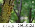 ヤマゲラ 29315128