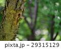 ヤマゲラ 29315129