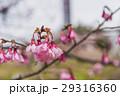 桜 29316360