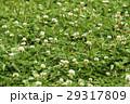 シロツメクサ クローバー 緑の写真 29317809