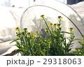 菜の花 29318063