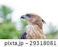 鳥 とさかのある 鷹の写真 29318081