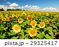 ひまわり 向日葵 ヒマワリの写真 29325417