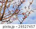 梅の花 29327457