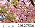 河津桜 29327530