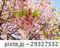 河津桜 29327532