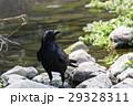カラス 川辺 鳥の写真 29328311