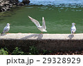 ゆりかもめ ユリカモメ 百合鴎の写真 29328929