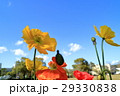 ポピー 花 ヒナゲシの写真 29330838