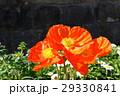 ポピー 花 ヒナゲシの写真 29330841