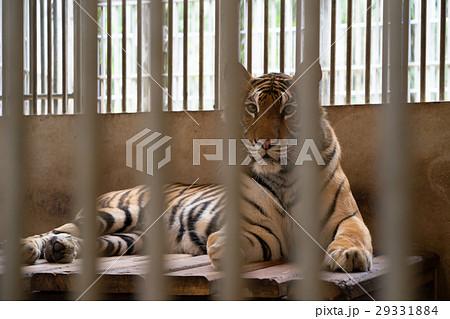 tiger in cageの写真素材 [29331884] - PIXTA