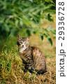 動物 ねこ ネコの写真 29336728